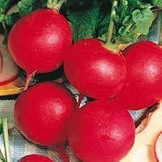Seed Kingdom Radish 德国巨型传家宝蔬菜散装 1 磅种子
