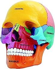 4D Master 26087 4D 解剖学爆炸骷髅模型