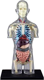 青岛文化教材社 Skynet 立体拼图 4D VISION 人体解剖 *4 躯体解剖骨架模型
