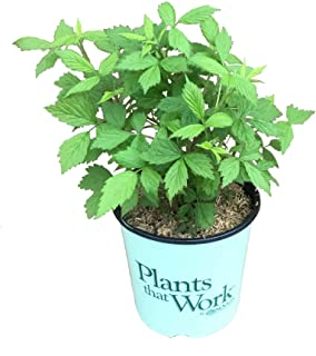 Plants That Work - in The Kitchen Heritage Ever-Bearing Red Raspberry - Rubus Id. Heritage - 19 厘米