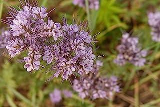 Thunder Acres Phacelia - 非转* - 提供花粉和花蜜(1 磅)