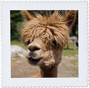 3D Rose Canada 新不伦瑞克花园 Barnyard Alpaca in The Petting Zoo 毯 12 x 12 英寸,12 x 12 英寸