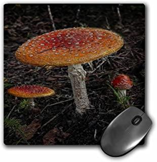 3dRose 20.32 x 20.32 x 0.64 厘米,三只橙色红色蘑菇在野生鼠标垫上种植 (mp_154805_1)