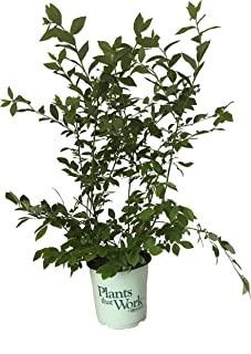 Premier Plant Solutions 20021 Jersey Plants That Work Bluberry (Vaccinium),1 加仑(约 3.8 升)
